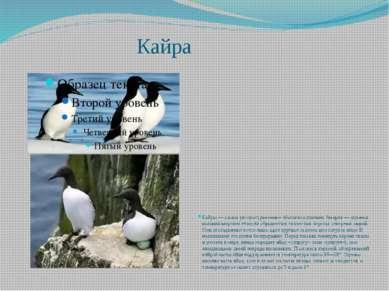 Кайра Кайры — самые распространенные обитатели птичьих базаров — шумных колон...