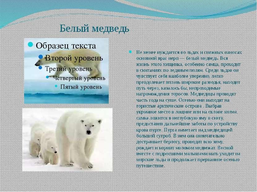 Белый медведь Не менее нуждается во льдах и снежных наносах основной враг нер...