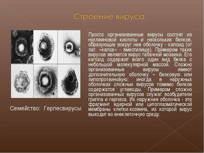 Просто организованные вирусы состоят из нуклеиновой кислоты и нескольких белк...