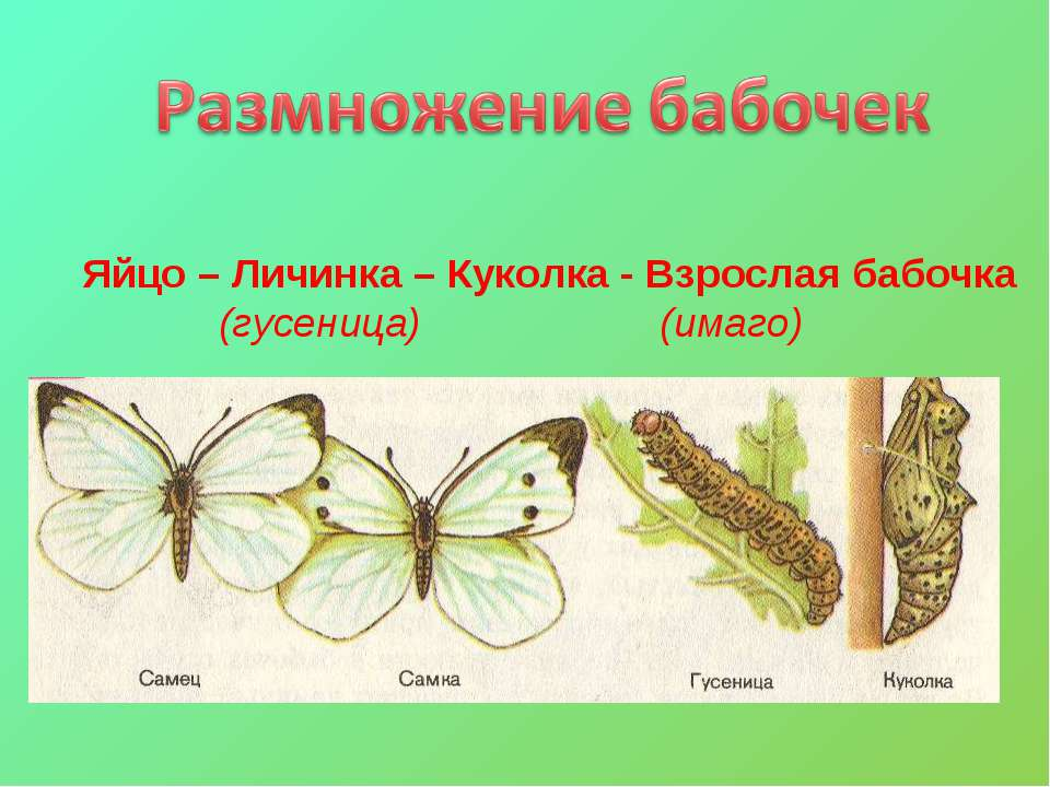 Яйцо – Личинка – Куколка - Взрослая бабочка (гусеница) (имаго)
