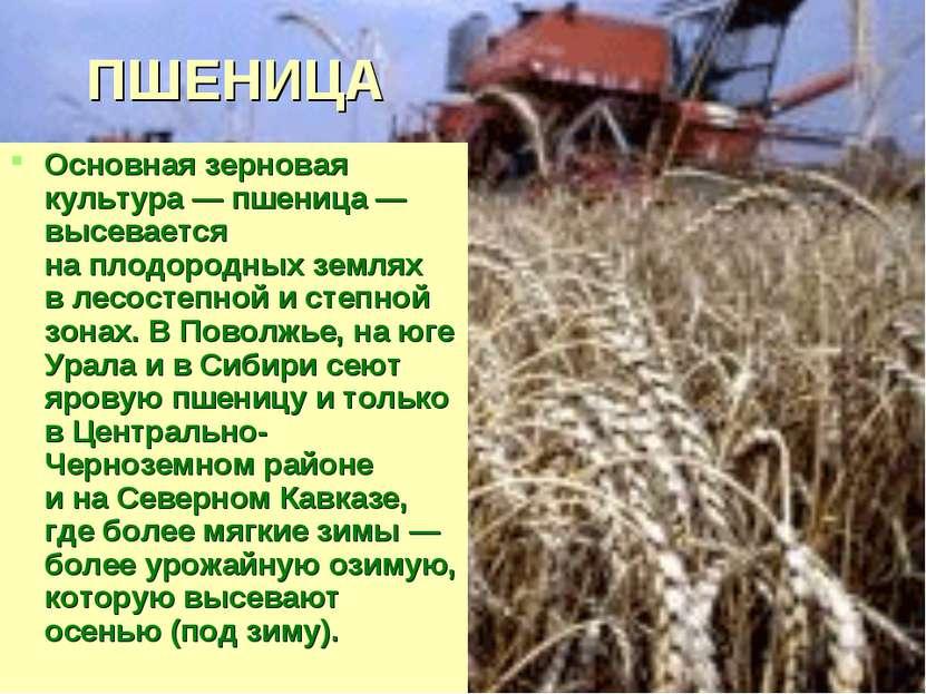 ПШЕНИЦА Основная зерновая культура— пшеница— высевается наплодородных земл...