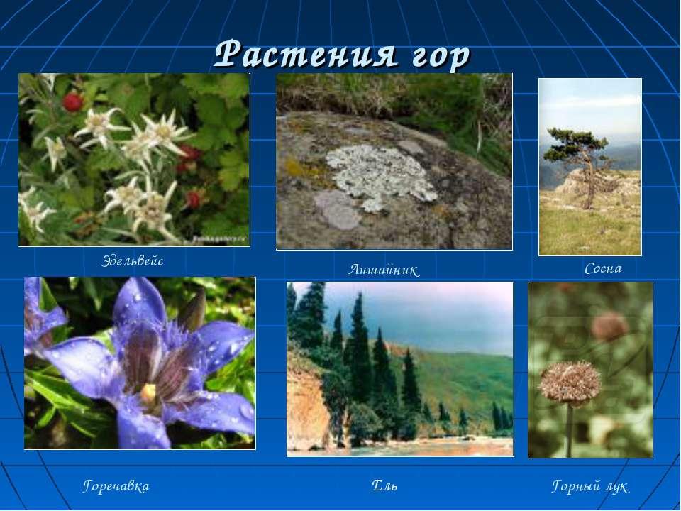 Растения гор Эдельвейс Горечавка Лишайник Сосна Горный лук Ель