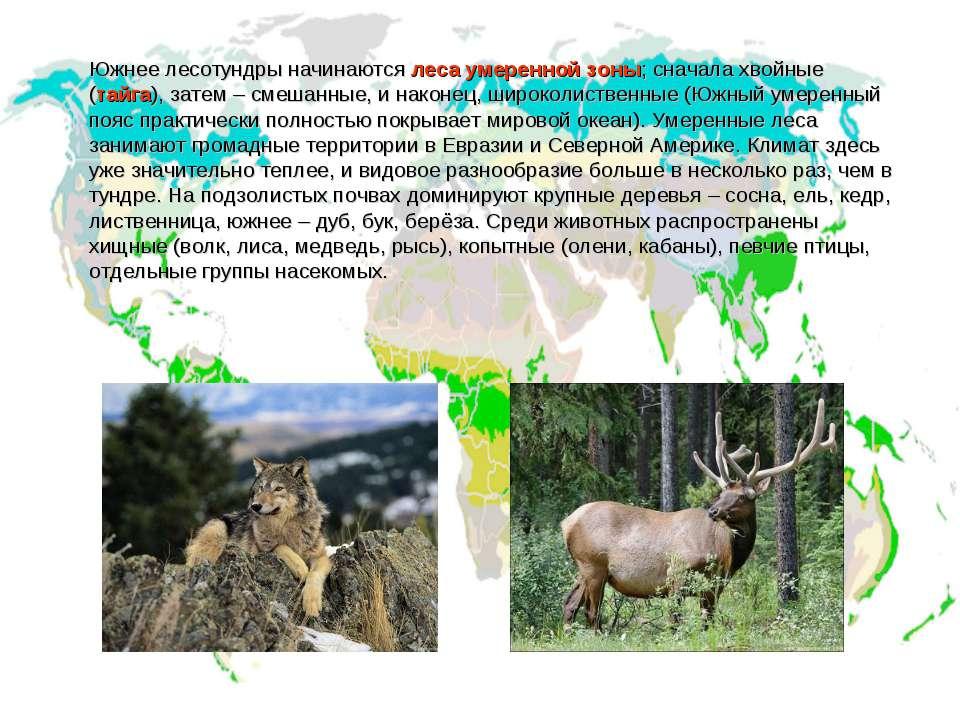 Южнее лесотундры начинаются леса умеренной зоны; сначала хвойные (тайга), зат...
