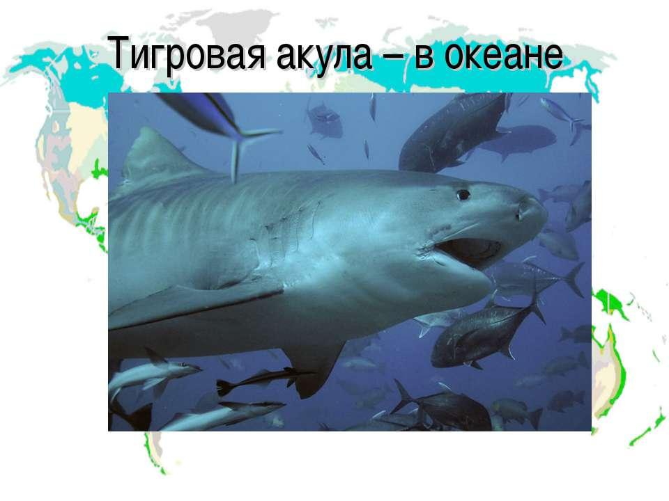 Тигровая акула – в океане