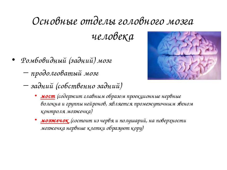 Основные отделы головного мозга человека Ромбовидный (задний) мозг продолгова...