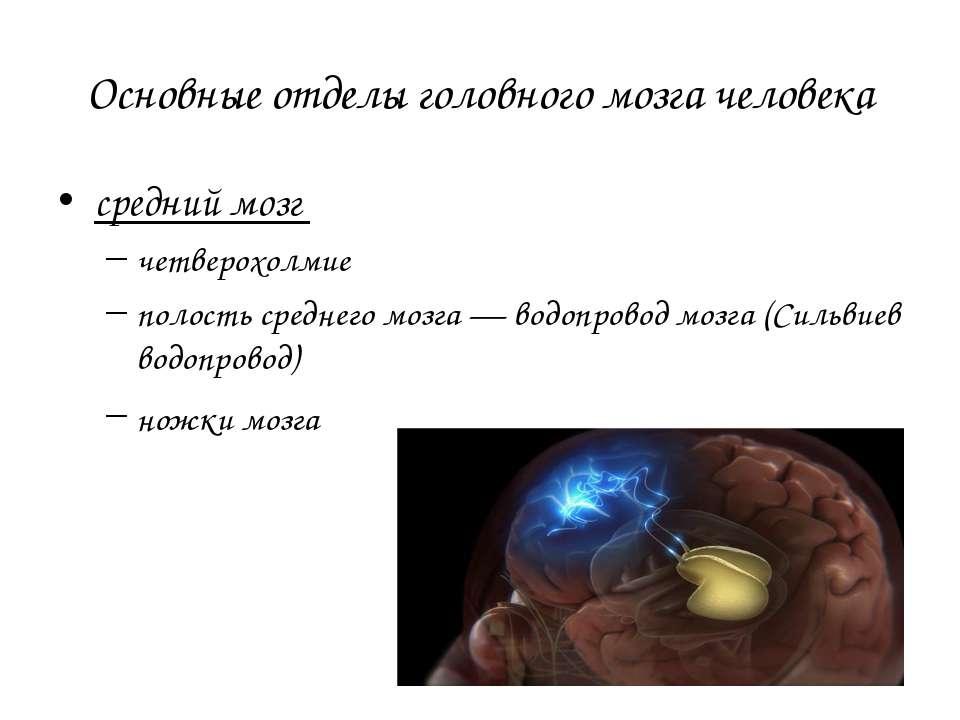 Основные отделы головного мозга человека средний мозг четверохолмие полость с...