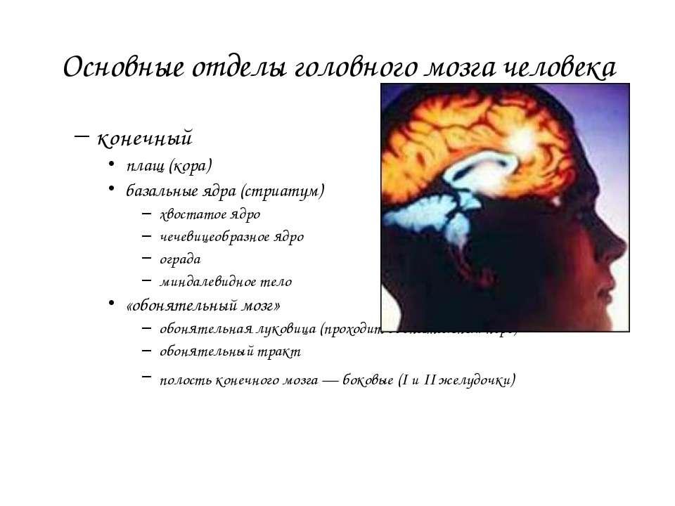 Основные отделы головного мозга человека конечный плащ (кора) базальные ядра ...