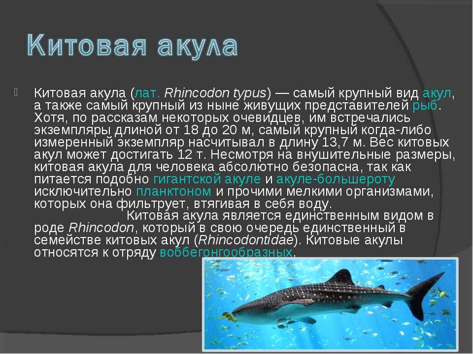 Китовая акула (лат. Rhincodon typus) — самый крупный вид акул, а также самый ...