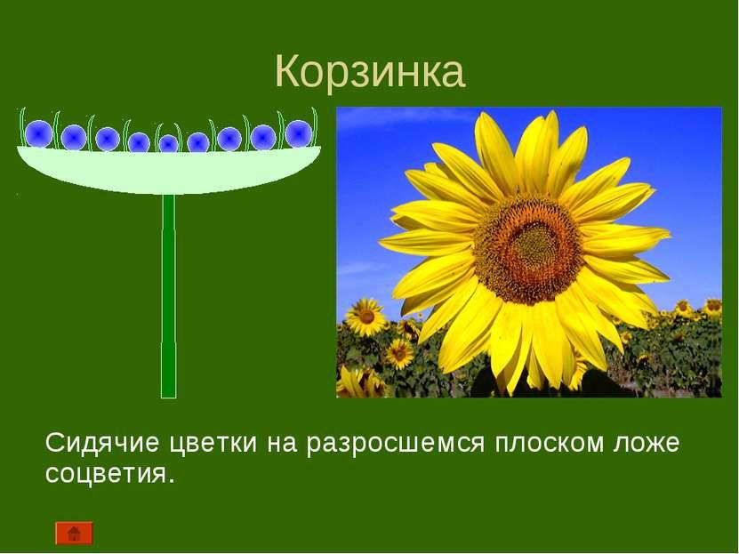 Корзинка Сидячие цветки на разросшемся плоском ложе соцветия.