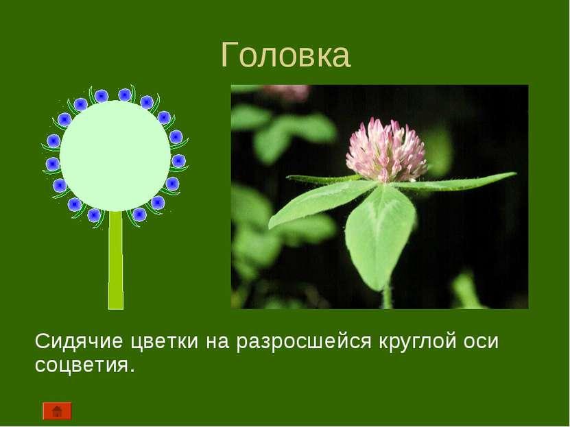 Головка Сидячие цветки на разросшейся круглой оси соцветия.