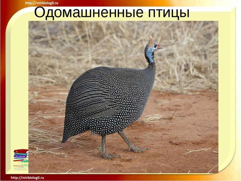 Одомашненные птицы .