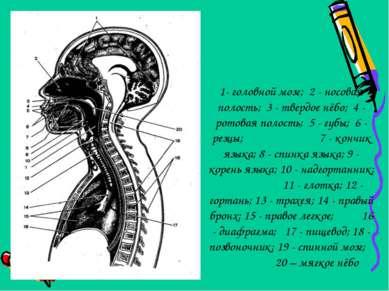 1- головной мозг; 2 - носовая полость; 3 - твердое нёбо; 4 - ротовая полость;...