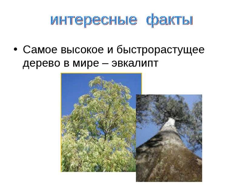 Самое высокое и быстрорастущее дерево в мире – эвкалипт