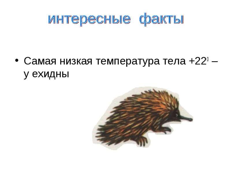Самая низкая температура тела +220 – у ехидны