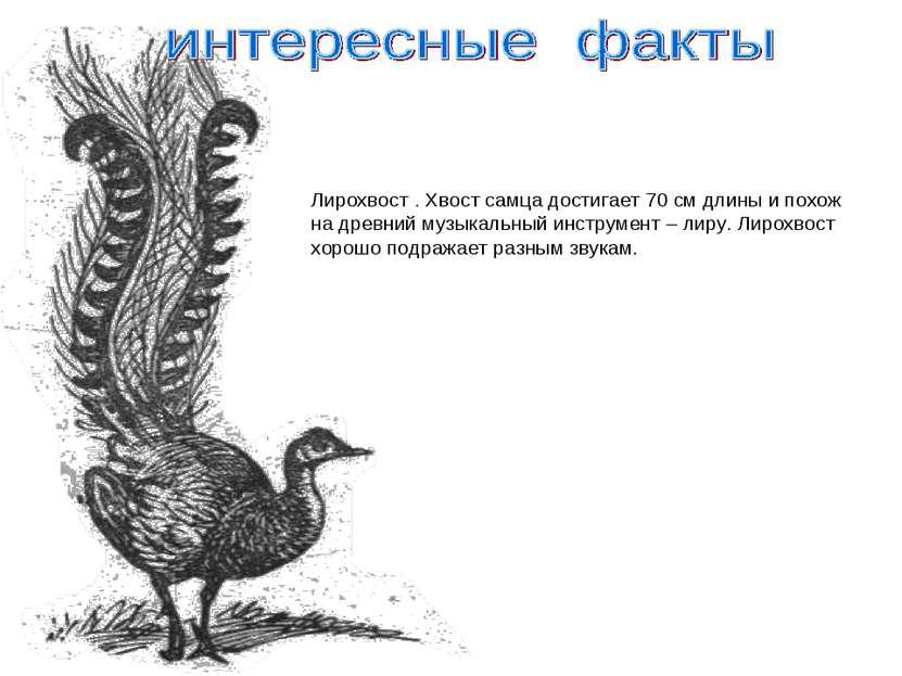 Лирохвост . Хвост самца достигает 70 см длины и похож на древний музыкальный ...