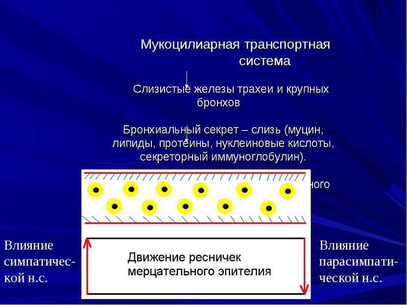 Мукоцилиарная транспортная система Слизистые железы трахеи и крупных бронхов ...