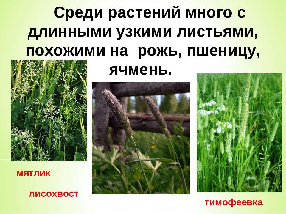 мятлик тимофеевка лисохвост Среди растений много с длинными узкими листьями, ...