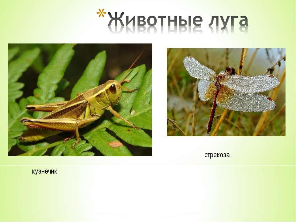 кузнечик стрекоза