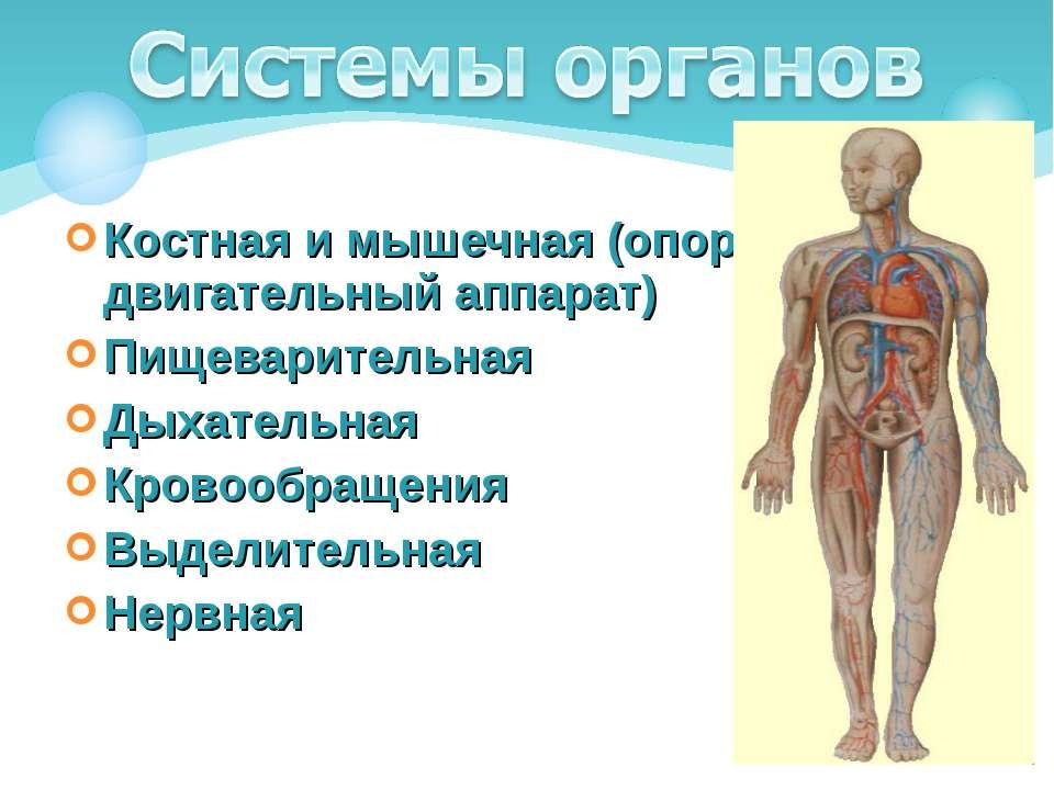 Костная и мышечная (опорно-двигательный аппарат) Пищеварительная Дыхательная ...