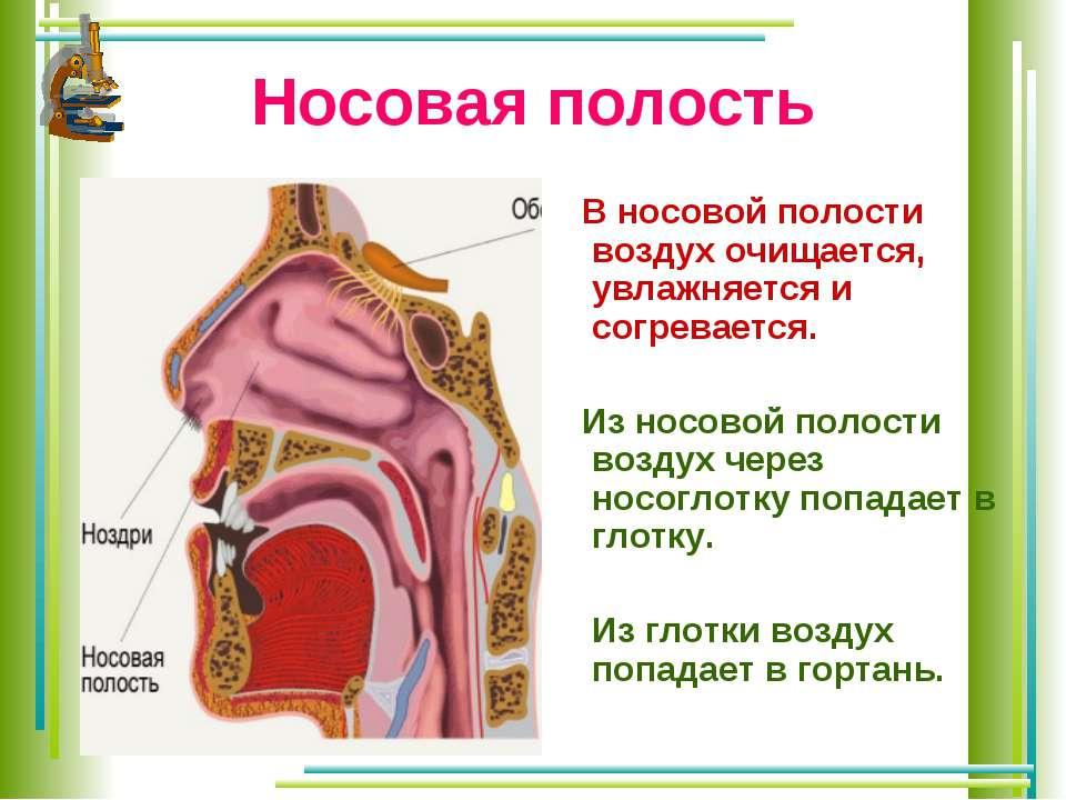 Носовая полость В носовой полости воздух очищается, увлажняется и согревается...