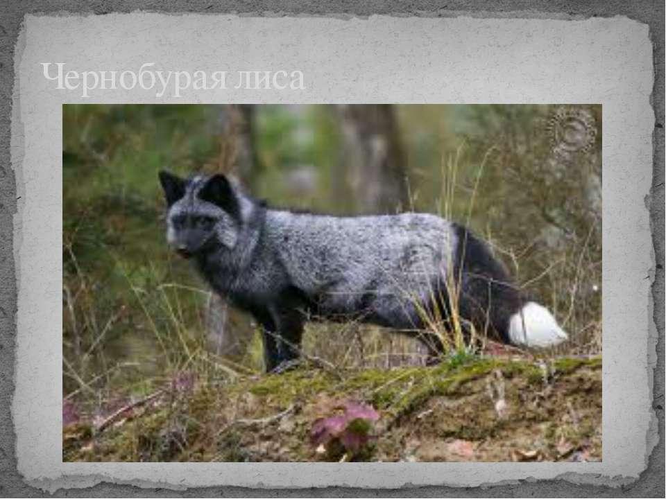 Чернобурая лиса