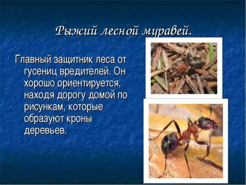 Рыжий лесной муравей. Главный защитник леса от гусениц вредителей. Он хорошо ...
