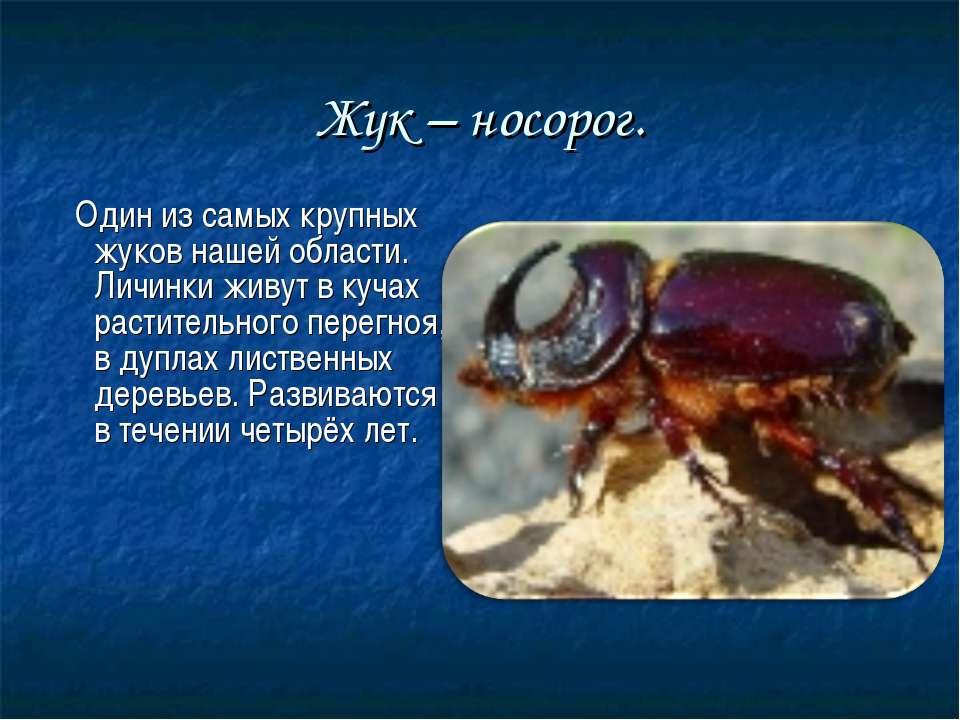 Жук – носорог. Один из самых крупных жуков нашей области. Личинки живут в куч...
