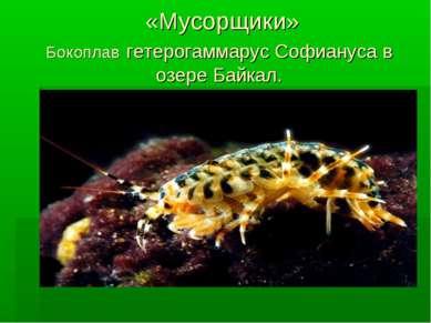 «Мусорщики» Бокоплав гетерогаммарус Софиануса в озере Байкал.