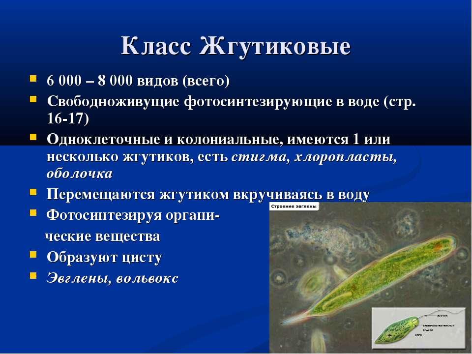 Класс Жгутиковые 6 000 – 8 000 видов (всего) Свободноживущие фотосинтезирующи...