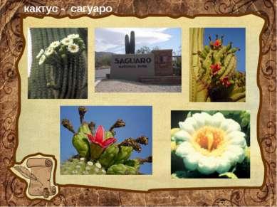 кактус - сагуаро