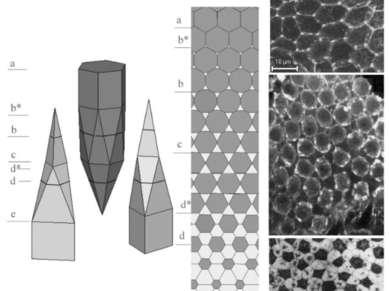 3-D организация пласта с гистионом состава АВ2