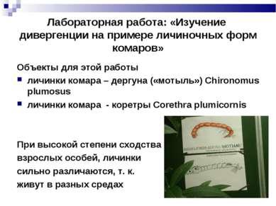 Лабораторная работа: «Изучение дивергенции на примере личиночных форм комаров...