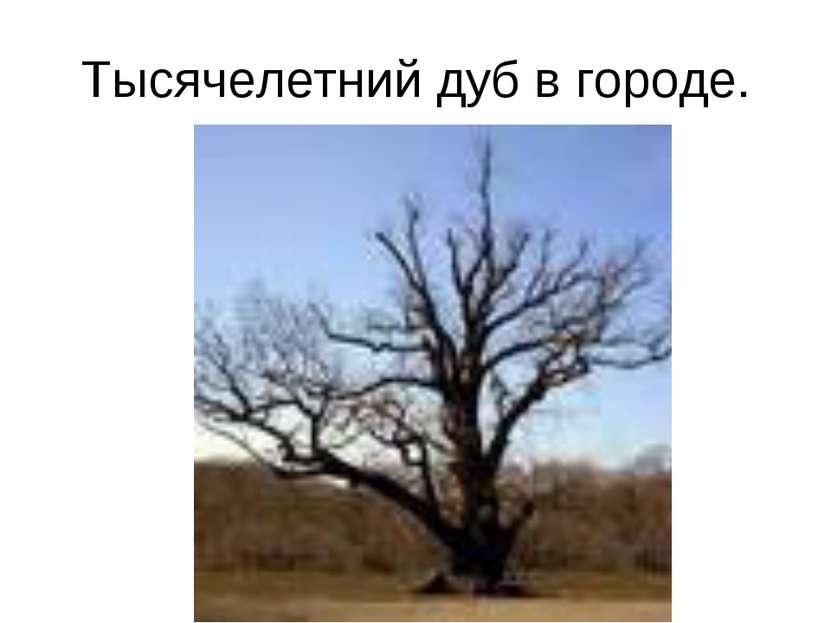 Тысячелетний дуб в городе.