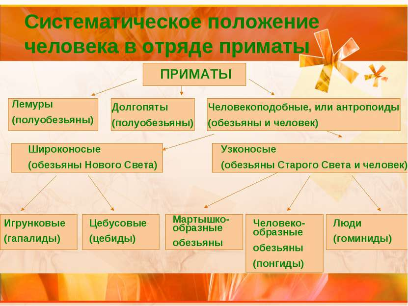 Систематическое положение человека в отряде приматы ПРИМАТЫ Лемуры (полуобезь...