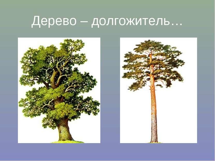 Дерево – долгожитель…