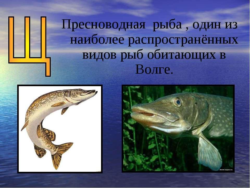 Пресноводная рыба , один из наиболее распространённых видов рыб обитающих в В...