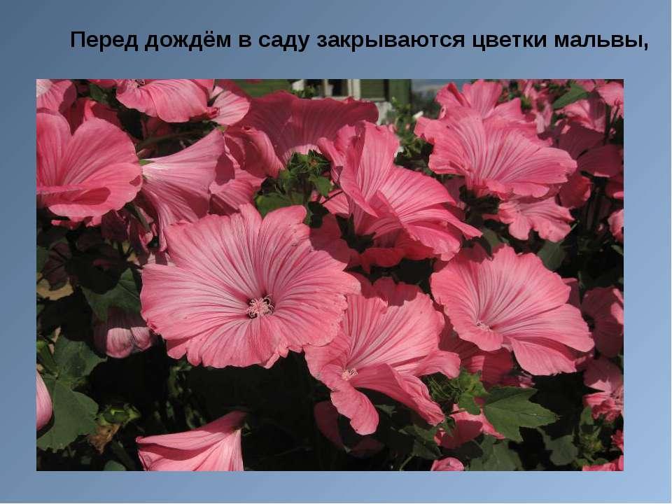 Перед дождём в саду закрываются цветки мальвы,