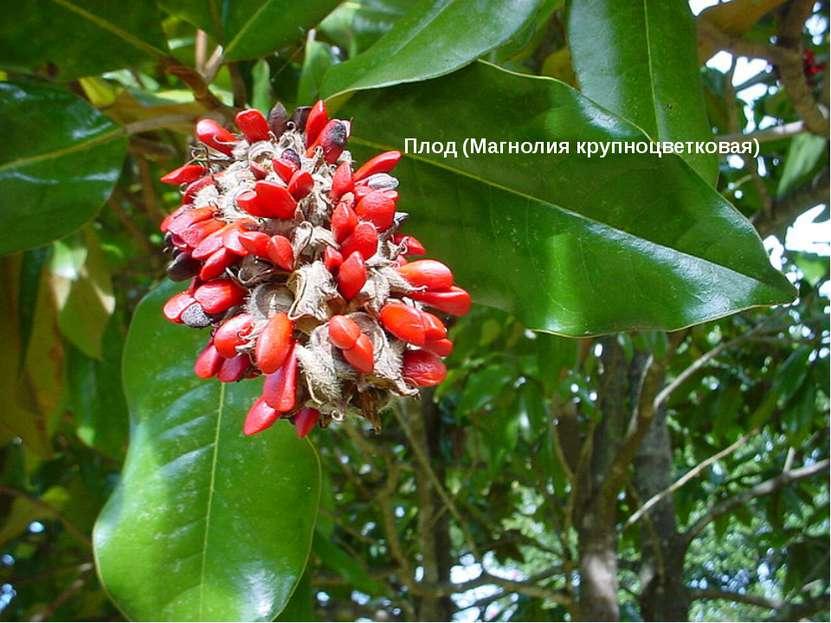 Плод (Магнолия крупноцветковая)