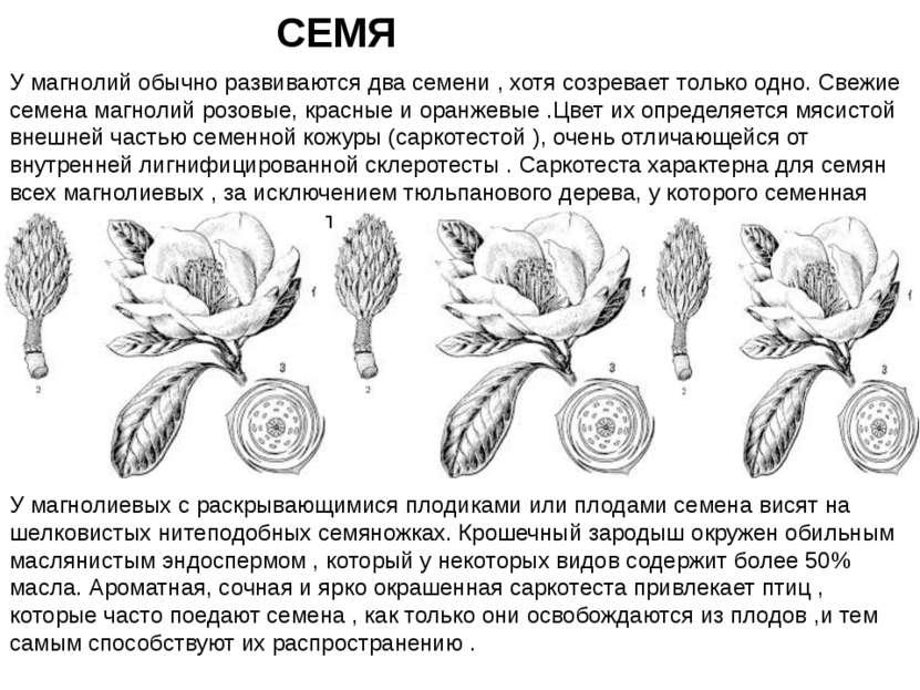 У магнолий обычно развиваются два семени , хотя созревает только одно. Свежие...