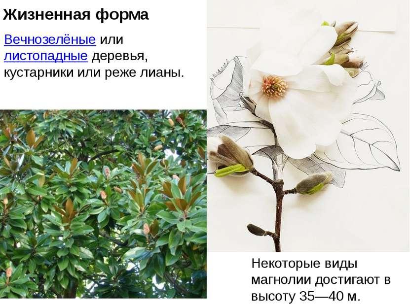 Жизненная форма Вечнозелёныеилилистопадныедеревья, кустарники или реже лиа...
