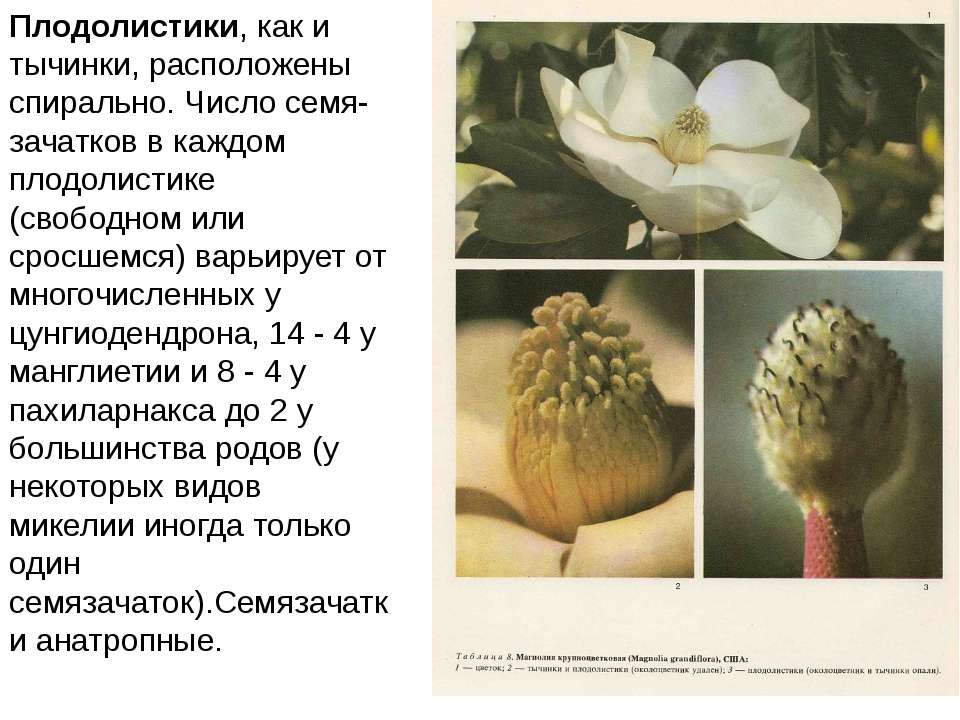 Плодолистики, как и тычинки, расположены спирально. Число семя-зачатков в каж...