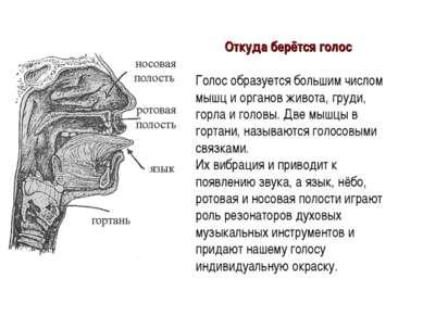 Откуда берётся голос Голос образуется большим числом мышц и органов живота, г...