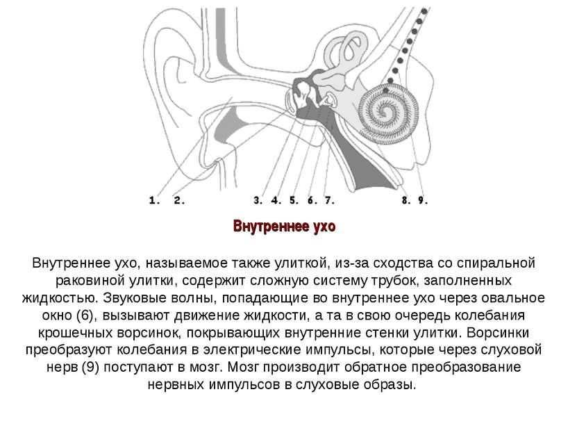Внутреннее ухо Внутреннее ухо, называемое также улиткой, из-за сходства со сп...