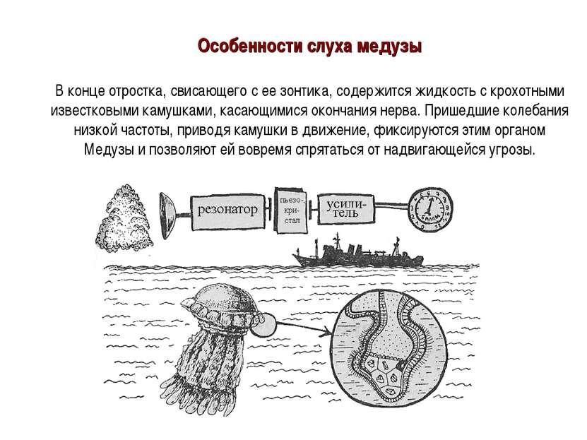 Особенности слуха медузы В конце отростка, свисающего с ее зонтика, содержитс...