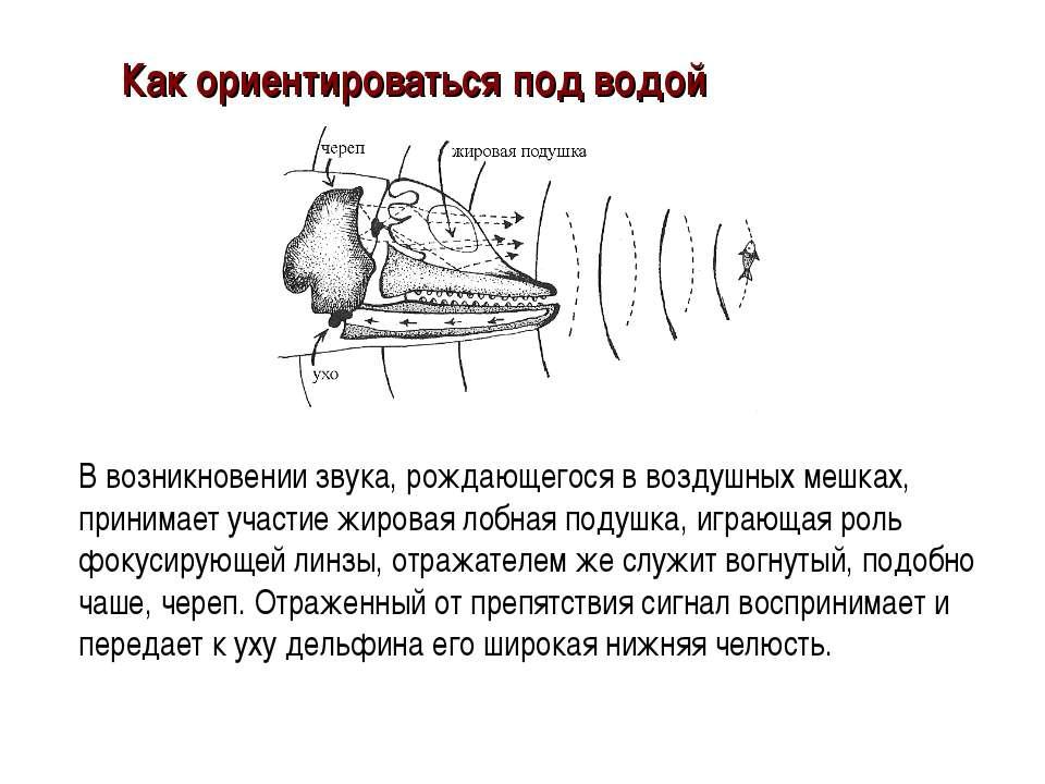 В возникновении звука, рождающегося в воздушных мешках, принимает участие жир...