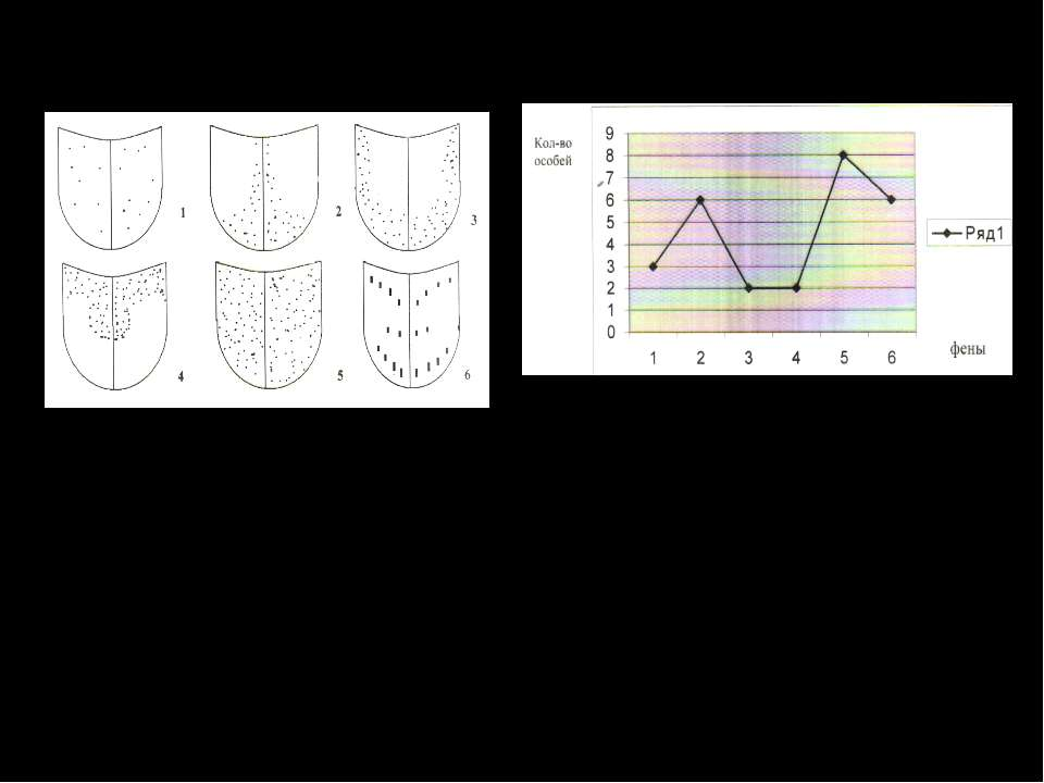 Внутривидовая изменчивость калоеда австрийского. Вариационная таблица особей ...