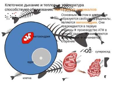 клетка ядро митохондрия Основным местом в клетке, где образуются свободные ра...