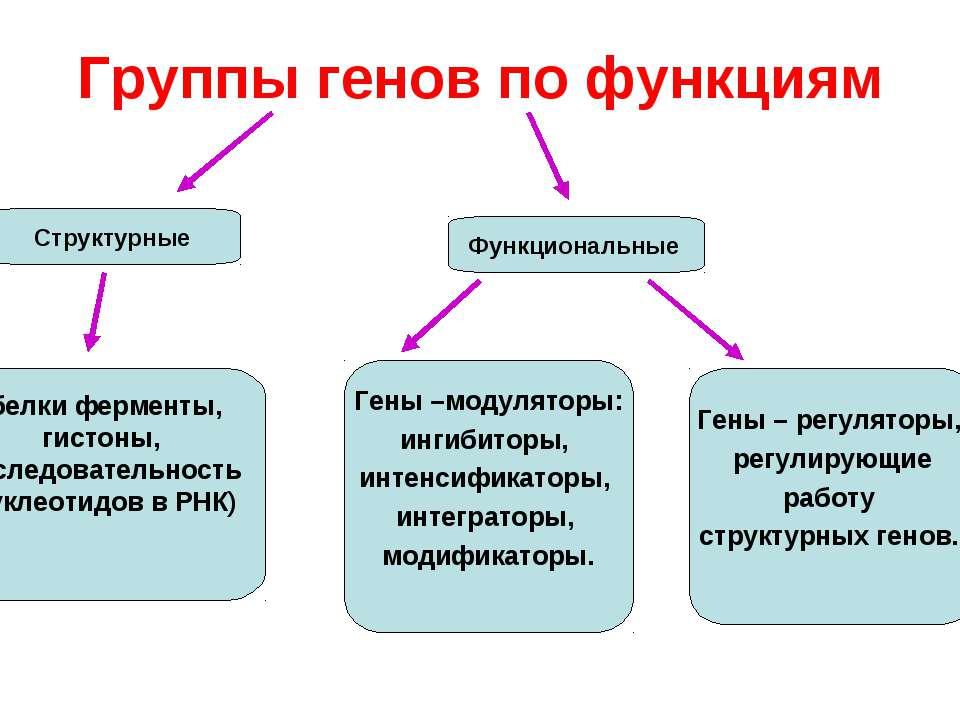 Группы генов по функциям Структурные (белки ферменты, гистоны, последовательн...