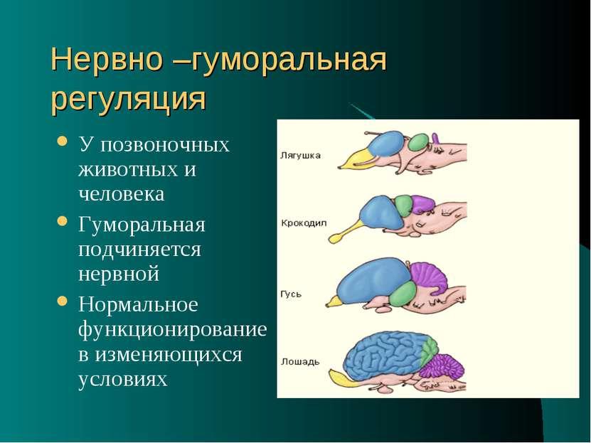 Нервно –гуморальная регуляция У позвоночных животных и человека Гуморальная п...