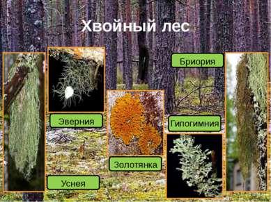 Хвойный лес Бриория Гипогимния Золотянка Эверния Уснея